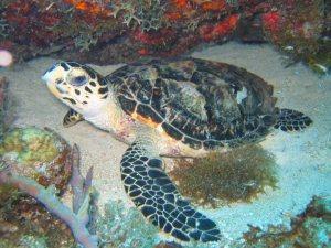 hawksbill-turtle1