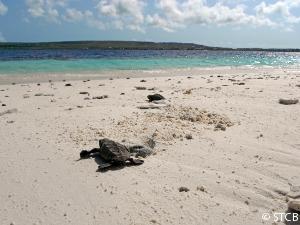hatchling-turtle-klein-bonaire