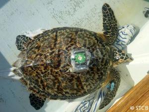hawksbill-turtle-datalogger