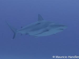 shark-300x225-blue