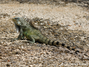 bonaire-iguana