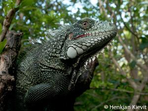 curacao-iguana