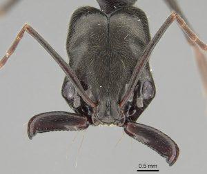 Ant (Odontomachus bauri)